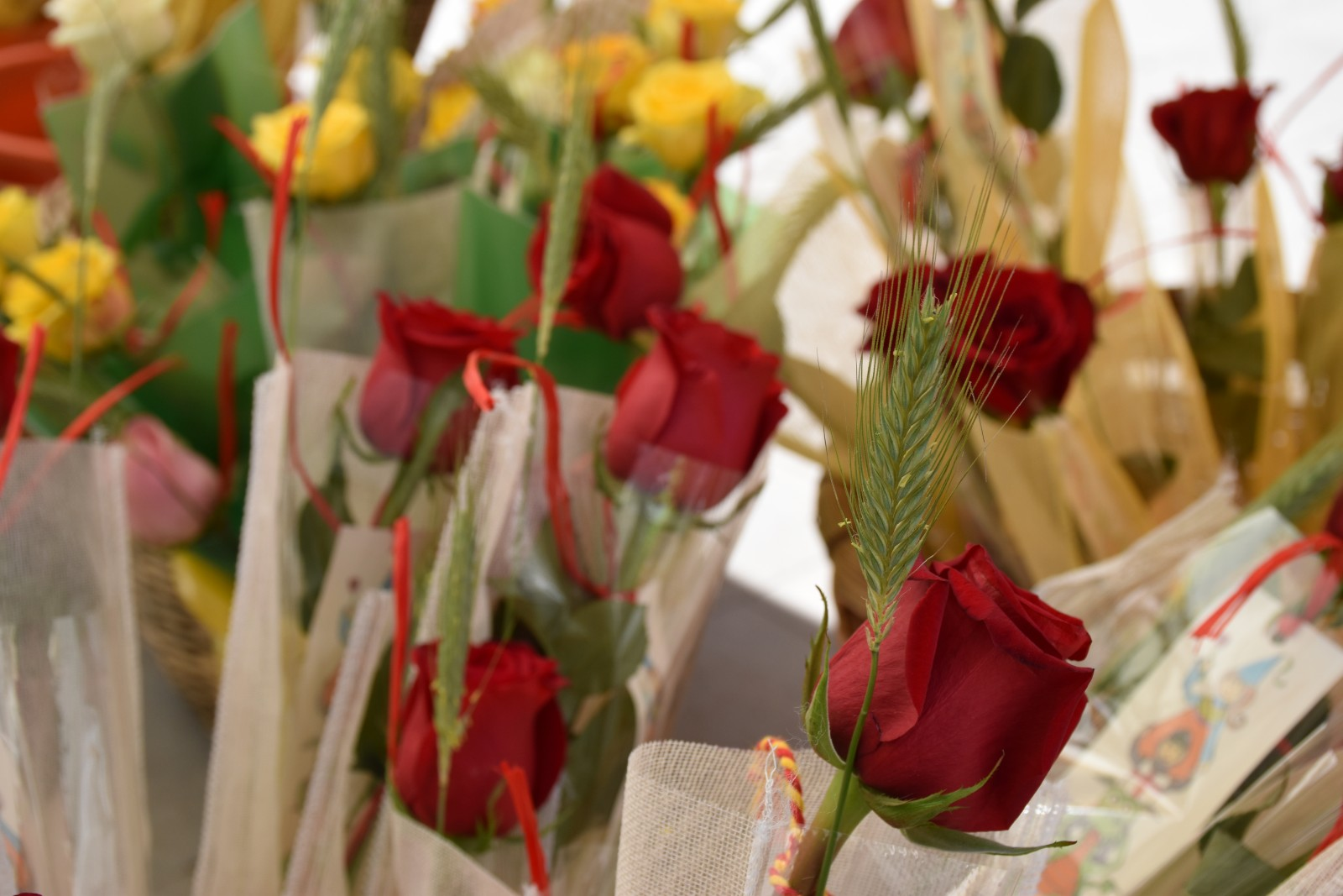The rose of Sant Jordi. Photo: Jordi López Guevara (Tot Olesa Imatges)